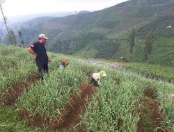 Punya Potensi Ribuan Hektare, Pasuruan Bisa Jadi Sentra Bawang Putih