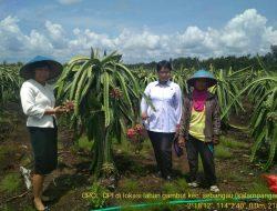 Ditjen Hortikultura Dorong Pengembangan Buah Naga di Palangka Raya