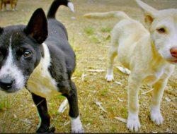 Edukasi Bahaya Daging Anjing Terus Dilakukan