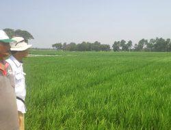 Kementan-Dinas Pertanian Karawang kawal Serangan OPT Padi Sampai Tuntas