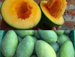Melongok 'Manisnya' Budidaya Mangga Organik di Pasuruan