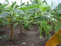 Permintaan Ekspor Tinggi, Ungkit Manisnya Agribisnis Pisang