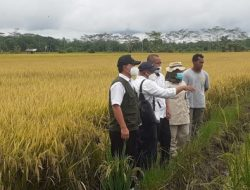 Petani Bantah Food Estate Kalteng Gagal Panen