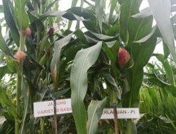 Turiman Pajale, Solusi Tingkatkan Ekonomi Petani