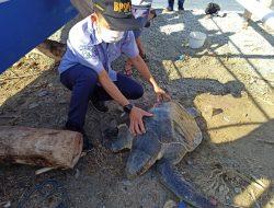 Tersangkut Kail Nelayan, KKP Lepasliarkan Penyu Tempayan ke Habitatnya