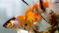 Ini Tips Untuk Memelihara Ikan Hias