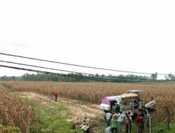 Luar Biasa, 30 Ton Jagung Rendah Aflatoxin Asal Lampung Selatan Masuk Industri
