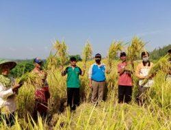 Memuaskan, Panen Perdana Program PATB Padi di Cilacap