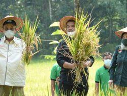 DPR RI-Kementan Panen Padi Varietas Inpari IR Nutri Zinc di Kulon Progo