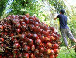 Sawit Indonesia Laris Manis di Eropa
