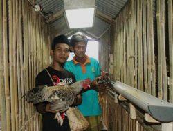Siap Cetak Peternak Milenial, Guru Madrasah Ini Kembangkan Ternak Ayam Kampung