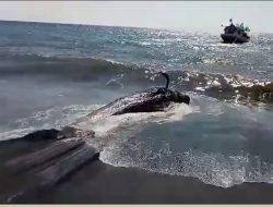 Paus Pilot yang Terdampar di NTT Terpaksa Ditenggelamkan