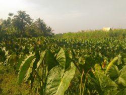 Kembangkan Talas Beneng, Balitbangtan Bentuk Riset Kolaboratif