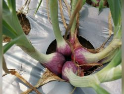 Prospek Ekspor, Kementan Ajak Petani Tanam Bawang Merah Biji TSS