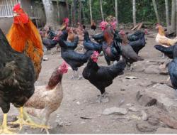 Mengenal Ayam KUB, Cepat Bertelur dan Banyak