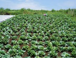 Pembenah Tanah Organik Tingkatkan Produktivitas Sayuran Daun